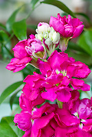 Matthiola incana (Stock) red-rose, fragrant pink flowers