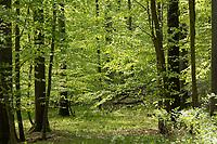 Wald, Laubwald, Buchenwald, Mischwald im Frühjahr mit Buche, Buchen, Rotbuche, Fagus sylvatica, Beech, Common Beech, Europaen Beech, Fayard, Hêtre commun und Eiche, Quercus