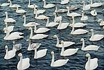 Whooper swans, Japan (Digital composite)