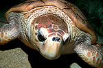 Loggerhead sea turtle resting on sand bottom loking at camera