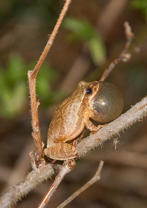 A tiny amphibian with a big voice, Hyla crucifer or Spring Peeper. How small is this little guy ? Below and to the right of where its perched is a mosquito...