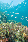 Sea of Cortez, Baja California, Mexico; a school of Scissortail Chromis fish swimming above the rocky reef