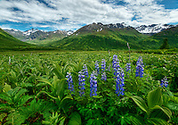 Lupines blossom near Archangel Valley, Alaska.