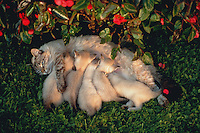 An adult female cat nurses kittens outside.