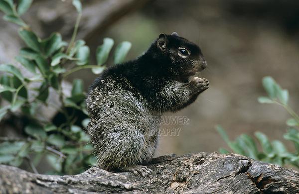 Rock Squirrel, Spermophilus variegatus, adult, Garner State Park, Texas, USA