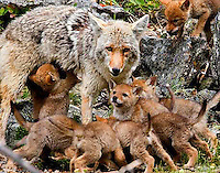 This Yellowstone coyote (Canis latrans) mother has her work cut out for her with nine pups! Gibbon Canyon, Yellowstone.