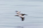 Brown Pelican (Pelecanus occidentalis) gliding over water, Santa Cruz, Monterey Bay, California