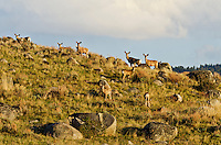 Mule Deer Herd (Odocoileus hemionus).  Gallatin National Forest, southern Montana.  Early May.