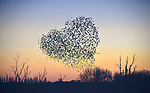 """LOVE IS IN THE AIR..... Starlings murmurating in the shape of a heart<br /> <br /> The flock of starlings where spotted over the skies of Romsey, Hants, at sunset last night (Sunday). <br /> <br /> Natasha Weyers said, """"They murmurated for around 20 mins, often splitting off into two groups, then reforming as one. Many locals came to get a dose of nature - socially distanced of course!"""" <br /> <br /> """"I hope people love the image, especially those who are shielding or not able to get out through the lockdown."""" <br /> <br /> © Natasha Weyers/Solent News & Photo Agency<br /> UK +44 (0) 2380 458800"""