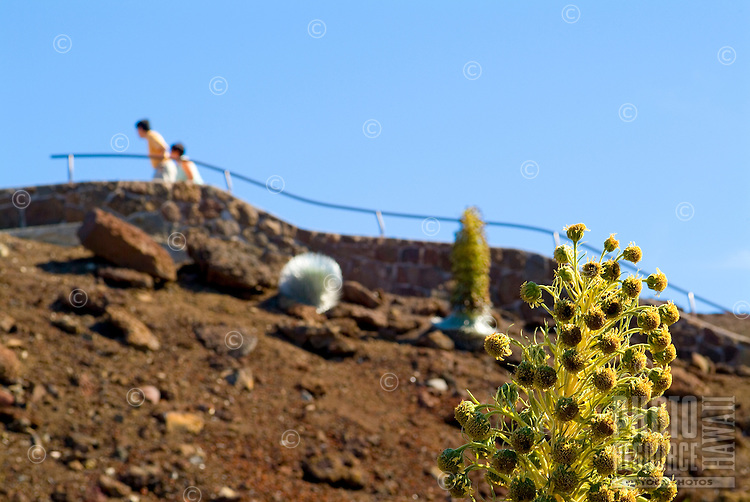 People walk past the endangered silversword plant in varying stages of bloom. This plant species is indigenous only to Haleakala on the island of Maui.