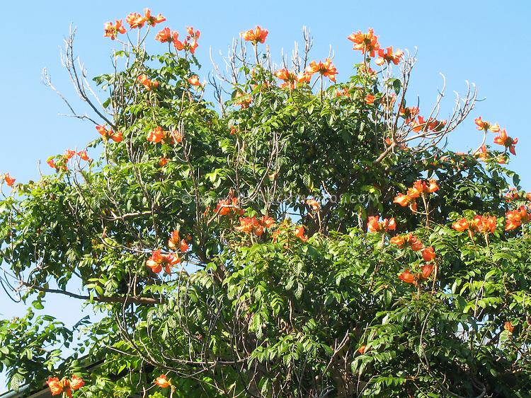 African Tulip Tree, Spathodea campanulata in bloom