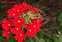 0808-0913  Spring Peeper Frog Climbing on Red Flowers, Pseudacris crucifer (formerly: Hyla crucifer)  © David Kuhn/Dwight Kuhn Photography