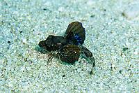 juvenile Bluefin searobin or Gunard or Red Gunard, Chelidonichthys spinosus, Shikine-jima island, Tokyo, Japan, Pacific Ocean