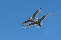 Dreizehenmöwe, im Flug, Flugbild, fliegend, Dreizehen-Möwe, Dreizehenmöve, Möwe, Rissa tridactyla, kittiwake