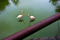 Pink flamingoes in a lagoon at the Havana Zoo, Havana, Cuba, 12 February 2011. The largest and the oldest zoo in Cuba (founded in 1939) is located in a centric neighborhood of the capital. Since the 1990s Cuba struggles with chronic economic crisis and therefore the strong marks of rundown and lack of sources are evident within the whole zoological garden. A lot of cages are empty and out of use for long time, the remaining animals are captured in poorly maintained pits. Concrete enclosures have no vegetation, all facilities are unkept. The food supply is often inadequate and visitors throw junkfood to the animals because there are no zookeepers around.