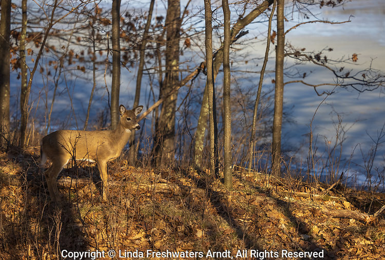 White-tailed fawn in a woodland bordering a wilderness lake.