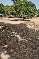 Red Cashew Apples and Nuts Lying on the Ground, near Sokone, Senegal.  Apples must be allowed to fall and should not be picked from the trees, but must be collected quickly once they are on the ground.  This is an example of a well-tended farm, where underbrush has been removed and low branches have been pruned from the trees, facilitating movement underneath the trees.