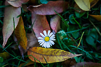 A tiny white and yellow flower surrounded by fallen fall leaves at an urban park on a late autumn afternoon.
