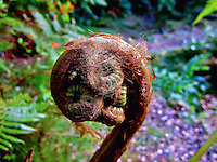 """A close-up of a young hapu'u fern frond, one of many found all over the east side of the Big Island. As the young shoots uncurl, they have fine, velvety-soft golden """"hair"""" called pulu. In the 1800s, pulu was commercially collected and used as stuffing for pillows and mattresses. The remnants of an old pulu factory can still be seen along the Napau Crater Trail in Hawai'i Volcanoes National Park."""