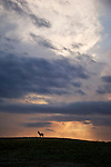 A silhouetted pronghorn antelope stands on a hillside at sunset in Wind Cave National Park, South Dakota.