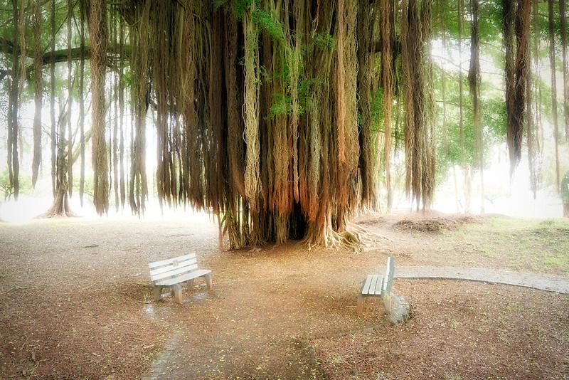 Banyon tree and benches. Liliuokalani Gardens. Hilo, Hawaii
