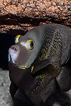 French Angelfish swimming 45 degrees to camera vertical