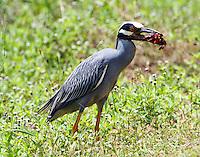 Adult yellow-crowned night-heron preparing to swallow crayfish