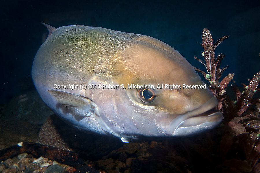 Greater Amberjack full body view 45 degrees to camera