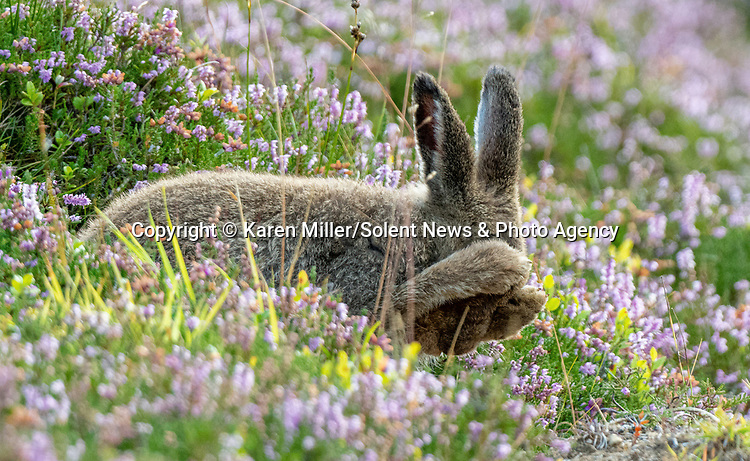 """MAIN IMAGE<br /> <br /> Pictured:  You can't see me....a mountain hare appears to make an unsuccessful attempt at hiding from a watching photographer.<br /> <br /> The amusing episode was captured by photographer Karen Miller in the Scottish Highlands.<br /> <br /> Karen said, """"I was lucky to spot her and after a while while she started grooming herself.  They often do things that look great in images and I had no idea what I'd captured at the time.""""<br /> <br /> Please byline:  Karen Miller/Solent News<br /> <br /> © Karen Miller/Solent News & Photo Agency<br /> UK +44 (0) 2380 458800"""