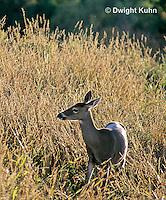 MA22-059z  White-tailed Deer - Odocoileus virginianus
