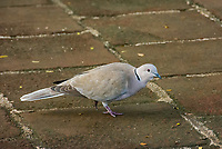 Eurasian Collared Dove, Streptopelia decaocto, in Holguín, Cuba