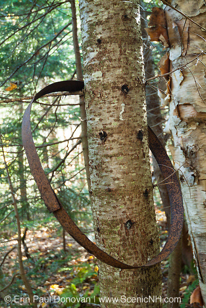 A tree growing through a barrel ring (artifact) at Lonas Camp in the in the Downes Brook drainage of Waterville Valley, New Hampshire. This was a logging camp of the Swift River Railroad (1906-1916). And this barrel ring is considered to be an artifact. The removal of historic artifacts from federal lands without a permit is a violation of federal law.