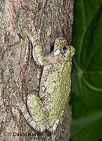 "0916-07tt  Gray Tree Frog - Hyla versicolor ""Virginia"" © David Kuhn/Dwight Kuhn Photography"