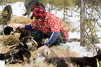 Dressed appropriately for the 30 degree temperatures  at Cripple on Thursday, Martin Buser checks on his resting dogs during his 24 hour layover during Iditarod 2008