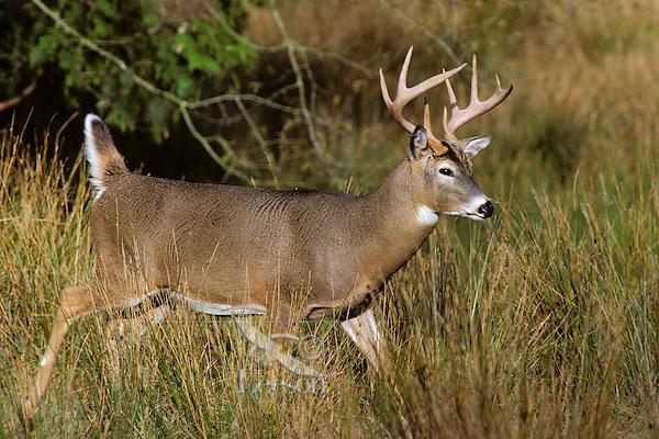 White-tailed deer buck walking through marsh grass in early fall.  Western U.S.