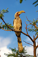 Yellow-billed Hornbill in Namibia