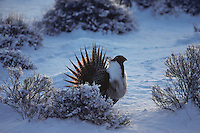 Male sage grouse displaying on lek in Great Basin area of North America.  March.