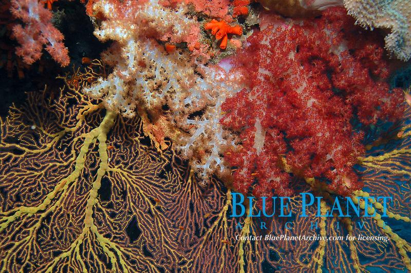 Bladed Soft Coral, Dendronephthya mucronata, and Orange Sea Fan, Melitella sp., Pearl Rock, Beqa Lagoon, Fiji, South Pacific Ocean