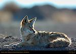Coyote at Rest, Bosque del Apache Wildlife Refuge, New Mexico
