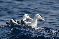 Wandering Albatross Pair off Wollongong