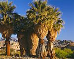 Anza-Borrego Desert State Park, CA<br /> California fan palm (Washingtonia filifera) with distant Santa Rosa mountains from 17 palms oasis