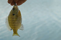 Bluegill fish held by fisherman