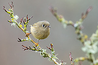 Ruby-crowned Kinglet (Regulus calendula). Washington County, Oregon. November.
