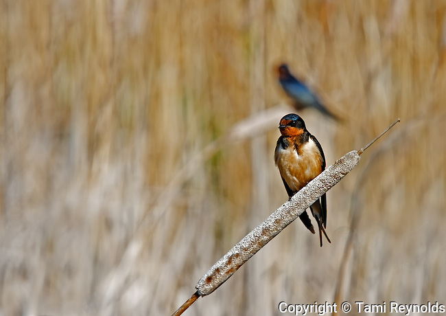 Mating Pair of Barn Swallows at St. Ambroise Provincial Park