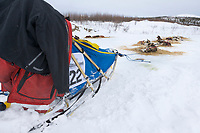 Dogs bed down on straw at the 101 mile checkpoint and rest stop during the 1000 mile Yukon Quest sled dog race.