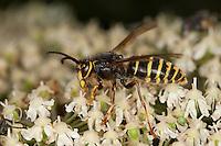 Mittlere Wespe, Kleine Hornisse, Männchen, Dolichovespula media, Langkopfwespen, Langkopfwespe, median wasp, Vespidae, Echte Wespe