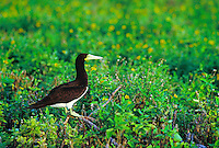 Brown booby or (a), (sula leucogaster plotus). Frequently seen off the main Hawaiian islands.