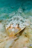 Atlantic guitarfish, Rhinobatos lentiginosus, Panama City, Florida, USA, Gulf of Mexico.