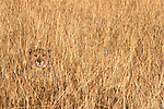 Cheetah, Phinda Reserve, South Africa<br />