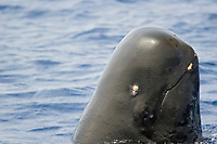 Parasites can be seen on this spy-hopping short-finned pilot whale, Globicephala macrorhynchus, Hawaii.